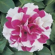 Petunia F1 Double Duo Red - White - 30 Pelleted seeds
